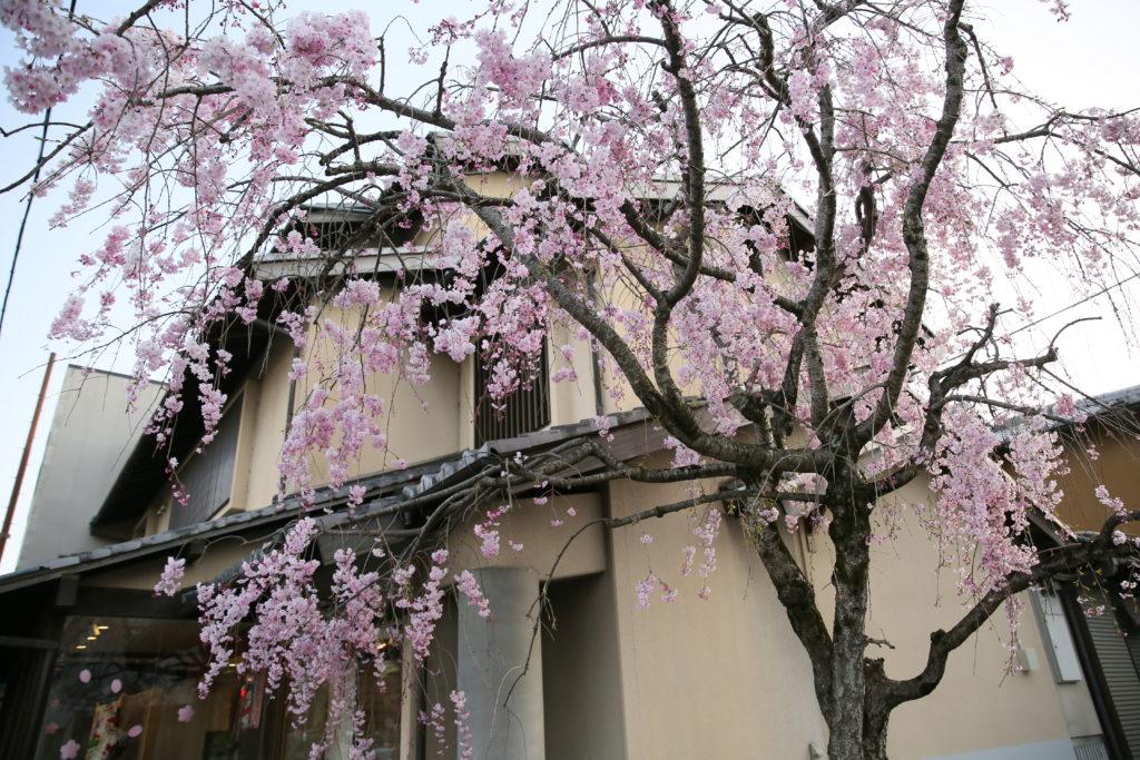 店舗まえの枝垂桜
